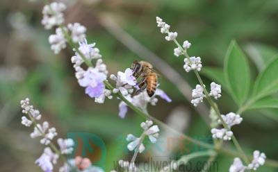 荆条蜂蜜简介——第六味道