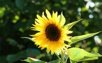 葵花蜂蜜的功效之向日葵介绍——第六味道